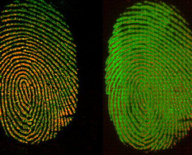 Fingerprint when freshly deposited (left) and after 72 hours (right). Credit: Muramoto/NIST